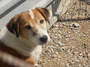 adoptie van een Roemeense hond